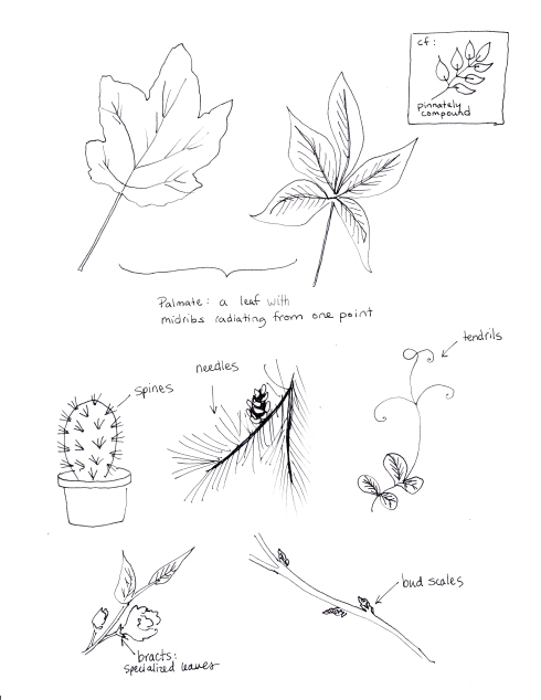 Leaves and Parts of Leaves